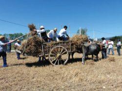 En Mozares, la Fiesta de la Trilla convierte en recuerdos las labores del verano rural