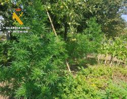 La Guardia Civil descubre una plantación de marihuana en el Valle de Mena