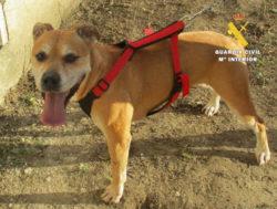 La Guardia Civil detiene al propietario de un perro potencialmente peligroso por falta de custodia sobre el animal