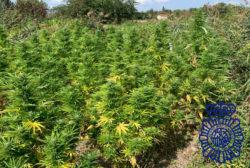 La Policía Nacional incauta 480 kilos de marihuana en dos plantaciones